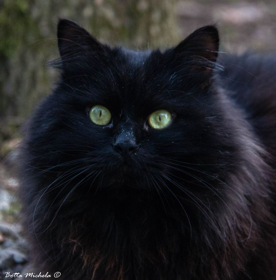 Black Demon By Michela Botta 500px Gorgeous Cats Pretty Cats Cats