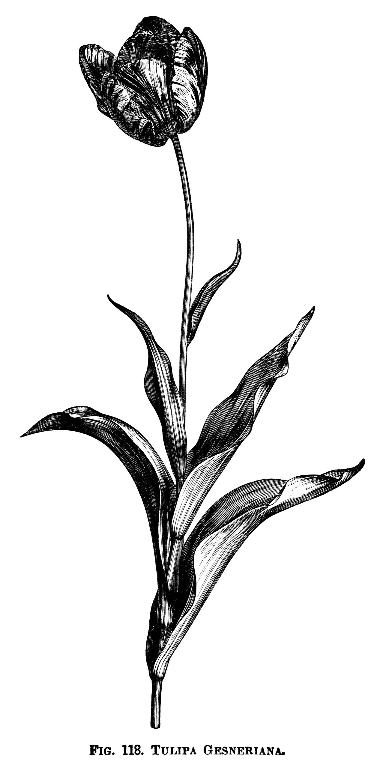 Tulip Clipart Black And White Graphics Botanical Flower Engraving