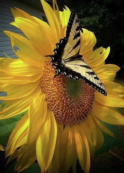 Butterfly on sunflower... Greeting Card for Sale by Rocksted Photography