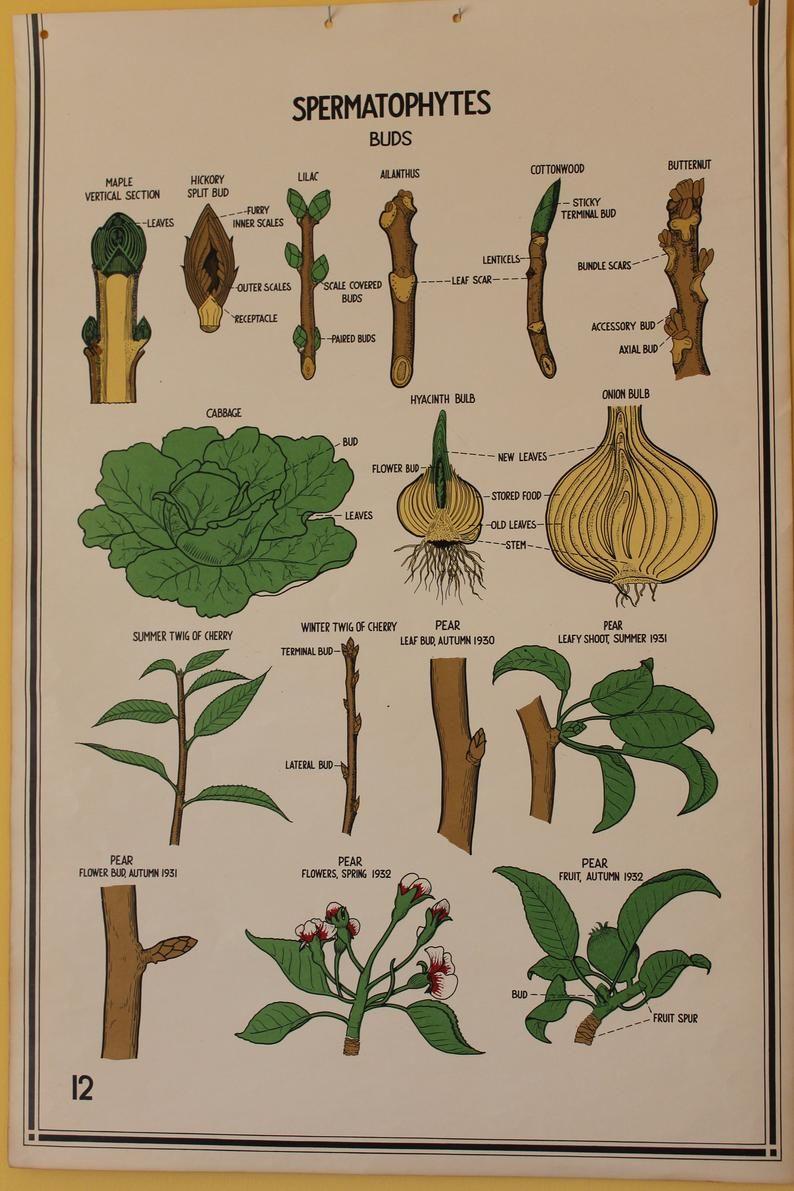 Vintage Smallwood Botanical Chart 12 Spermatophytes Plant Etsy