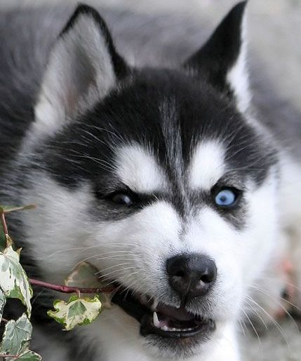 Siberian Husky Puppy I Like It S Two Different Eye Colors With