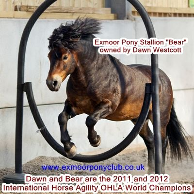 Shetlands could do this!  bearhoop3Wording400X399 Exmoor Pony Stallion International Horse Agility World Champion