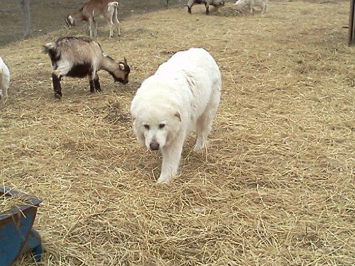 By Jackie Church Livestock Guardian Dog Training Manual Journal - training manual