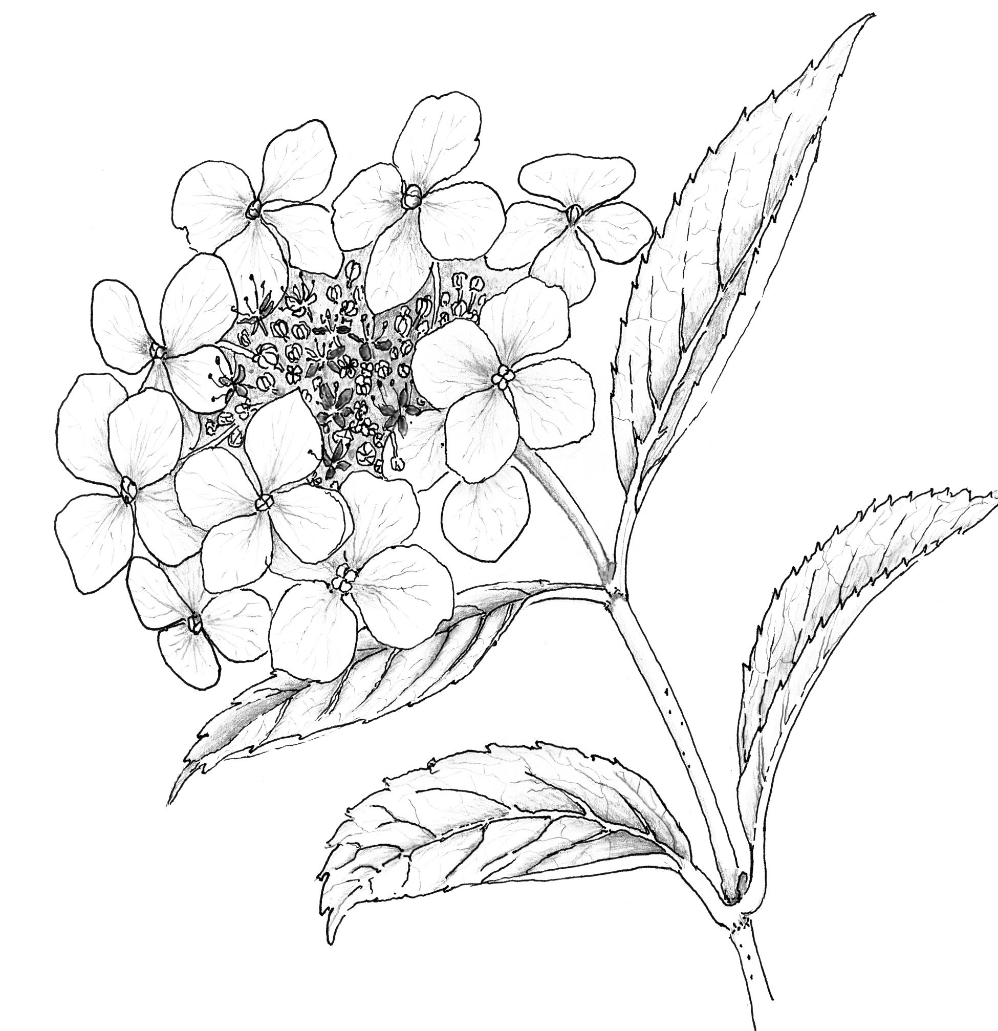 Flower Head Line Drawing : Hydrangea drawing liz reed copy
