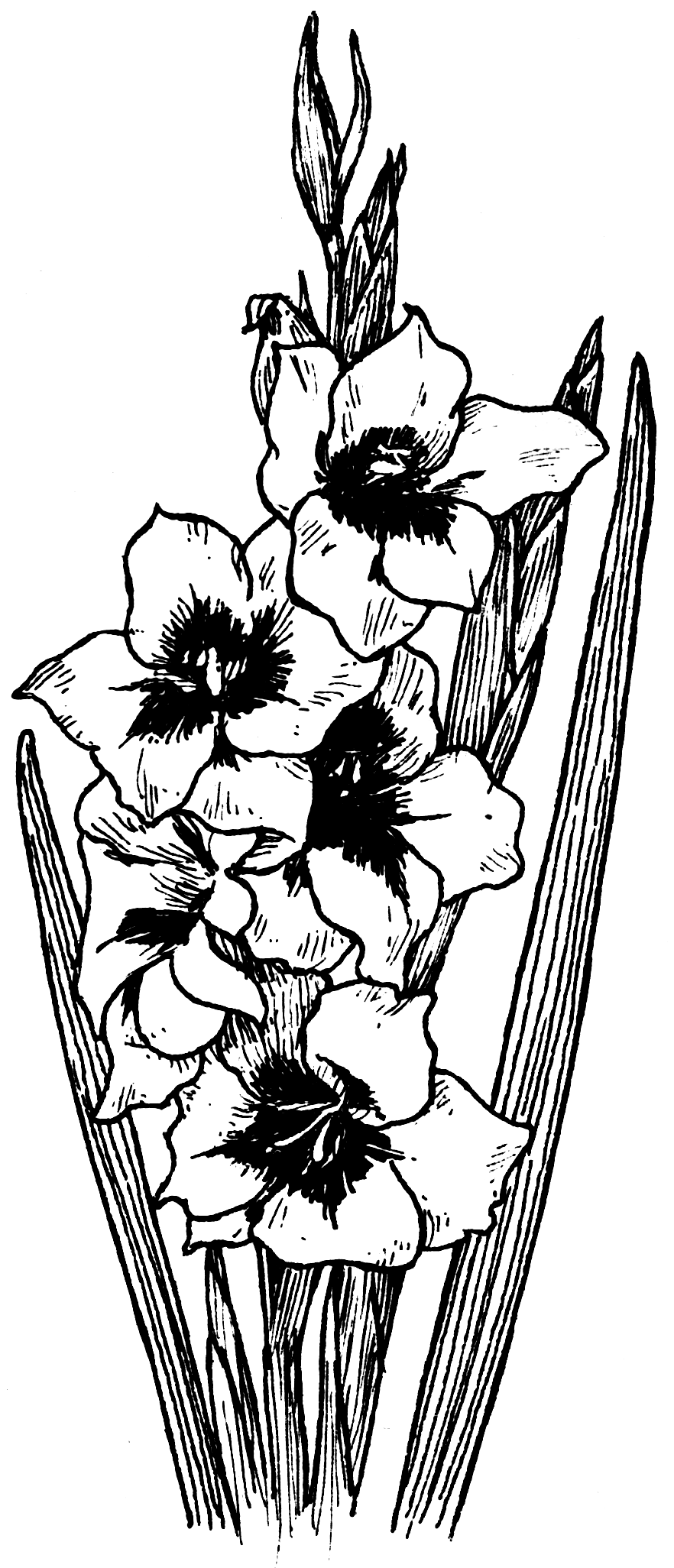 Gladiolus Drawing Google Search Black And White Flowers Flower Png Images Gladiolus Flower