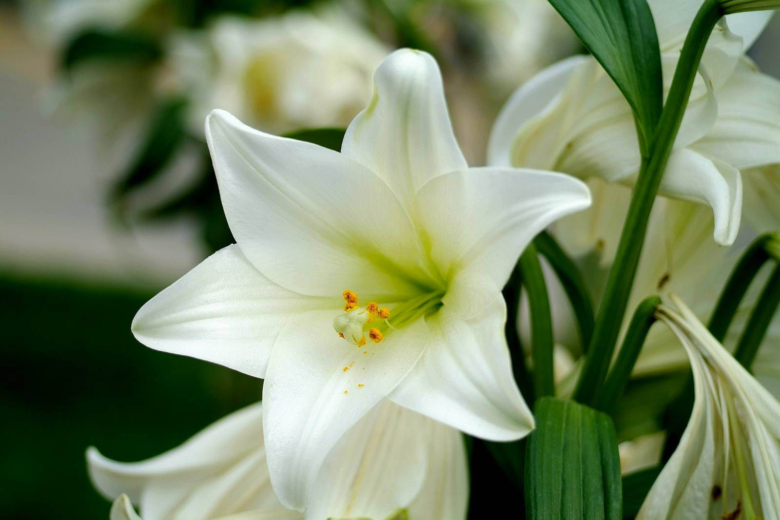 Pin On Close Up Flowers Coolest lily flower wallpaper