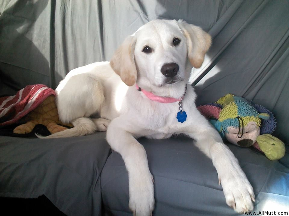 Golden Retriever Labrador Mix Google Search Goldadors