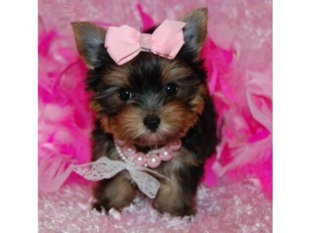 Listing Cute Quality Y O R K I E P U P S 443 2 Is Published On Free Classifieds Usa Online Ads Http Free Yorkie Puppy Yorkshire Terrier Puppies Yorkie