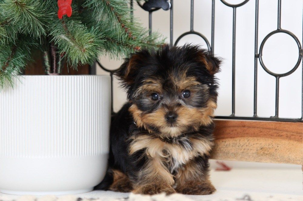 Puppies For Sale In Florida And Nationwide Puppies Online Yorkiepuppyforsaleflorida Yorkshire Terrier Puppies Yorkie Puppy For Sale
