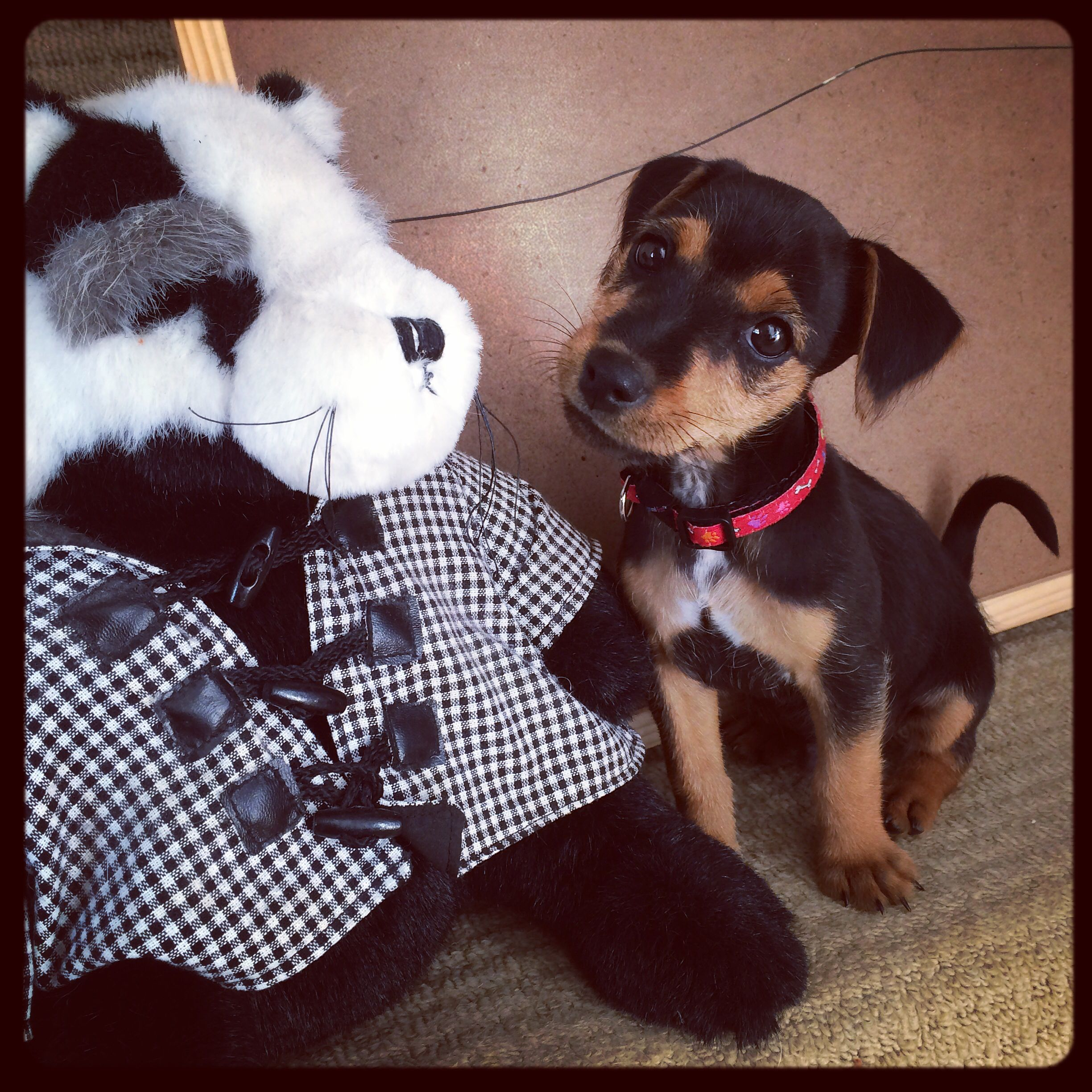 Buzz The Black And Tan Jack Russell Terrier Jack Russell Dogs