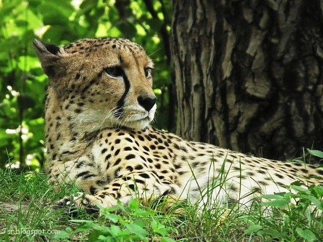 صور فهد أجمل صور حيوان النمر مع بعض المعلومات عنه Cat Care Pets Cats Cat Care Tips