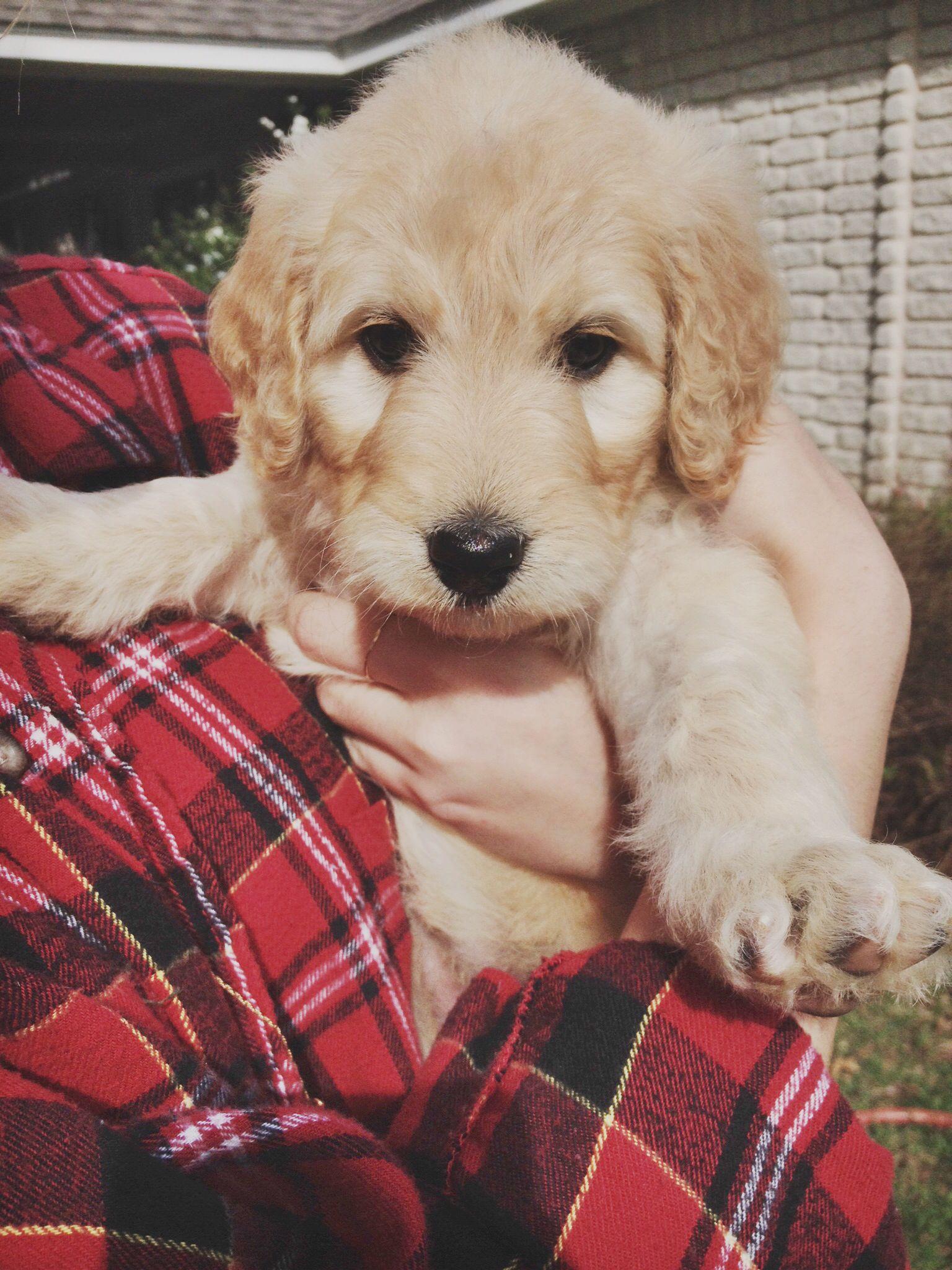 Lily The F1 Standard Goldendoodle Puppy 5 Weeks Old Goldendoodle