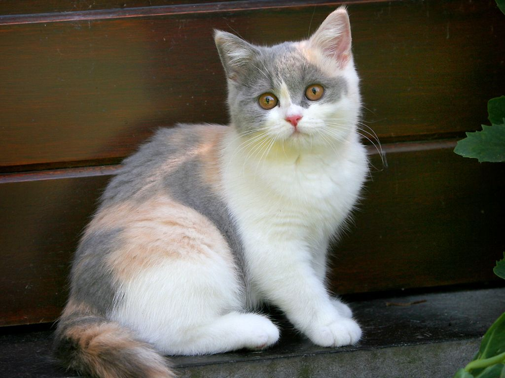 British Shorthair Calico Kitten oh I WANT her