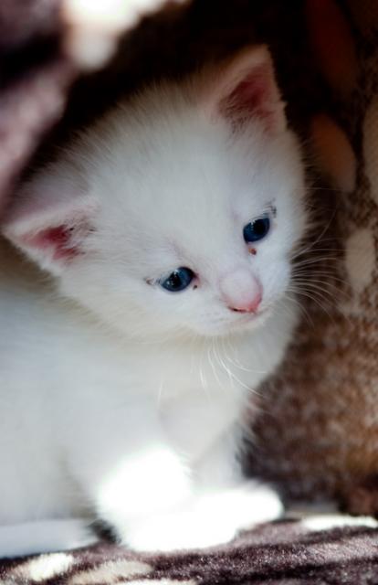 Turkish Angora Kitten Real Kitty Turkish Angora Love Pinterest
