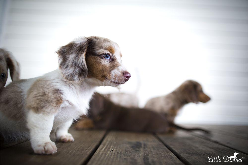 Miniature Dachshund Breeder Little Doxies Cute Puppies