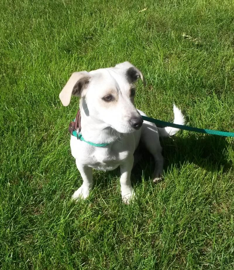 Adopt Penny on terrier mix, Terrier mix dogs, Adoption