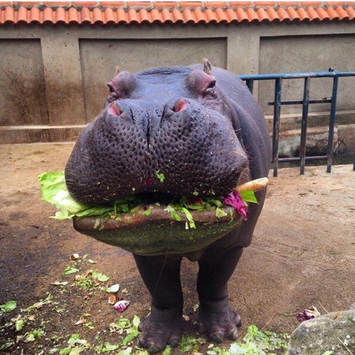 ♤   ♤   Hipopotamus ♤   ♤