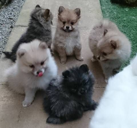 Pin by Heather Heape on My puppy Pomeranian puppy