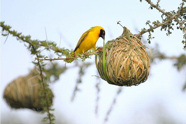 Textile In The Trees Weaver Bird Nests Garden Design Weaver Bird Nest Beautiful Birds Bird Bird nest wallpaper hd