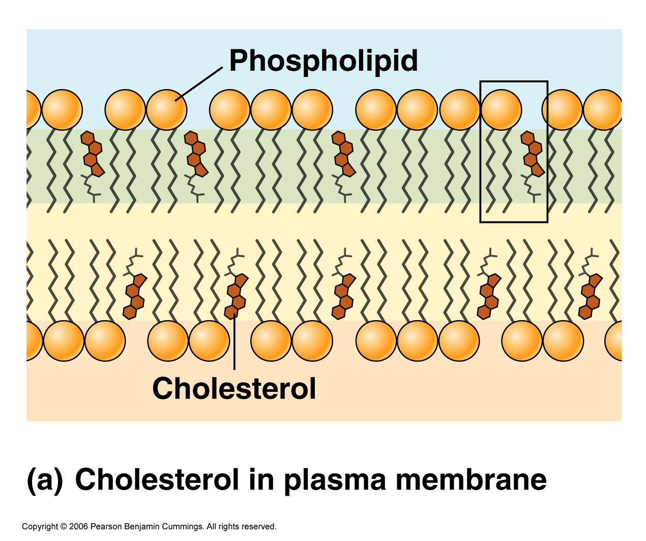 Cholesterol Cell Membrane See how to lower cholesterol