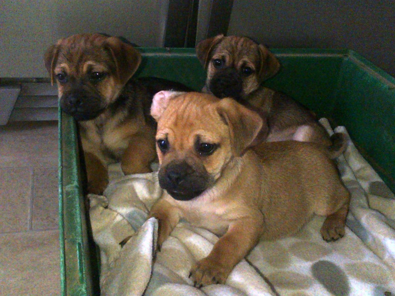 Adopt Rishi On Pekingese Dogs Dogs And Puppies Sweet Dogs