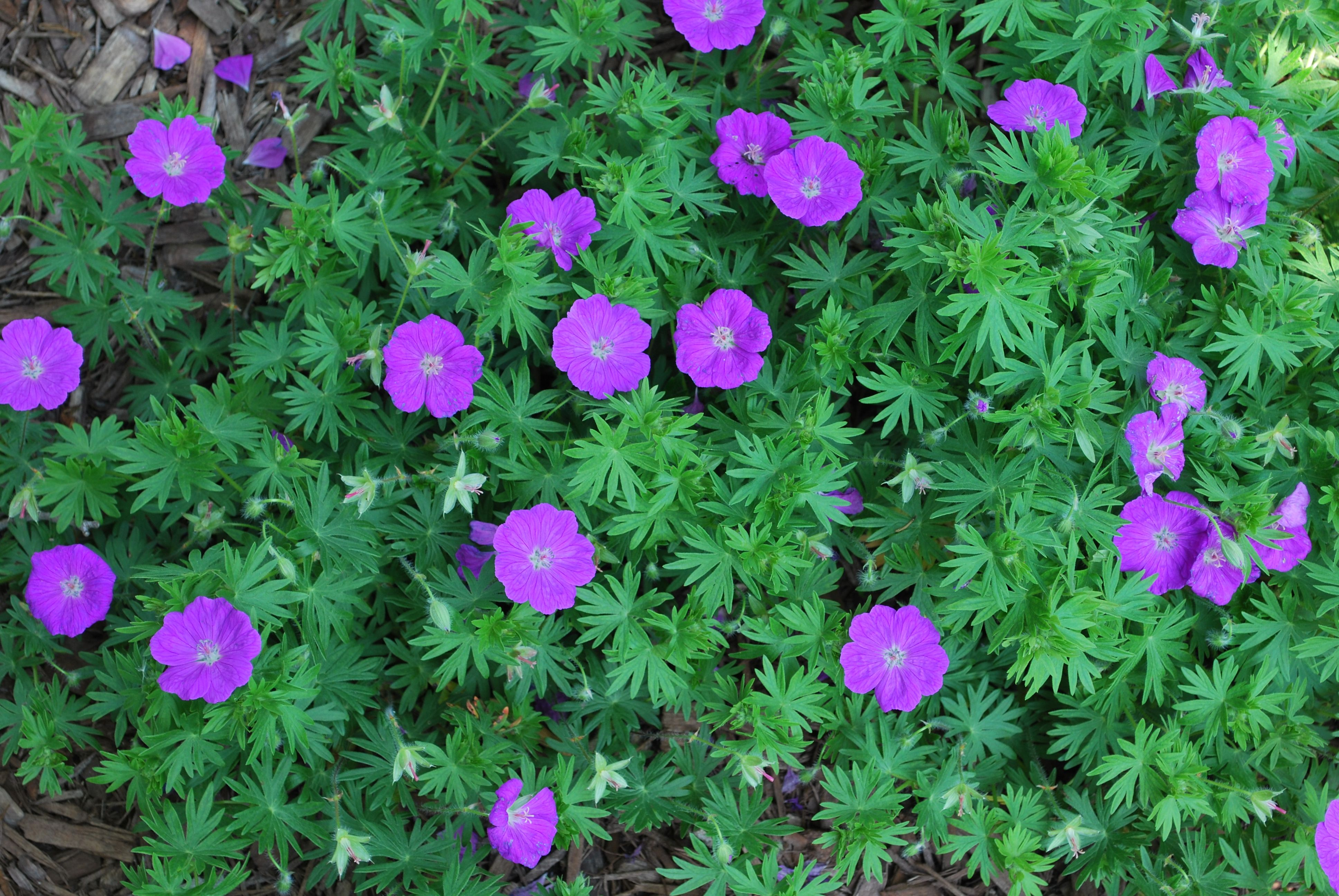 """'Alpenglow' Geranium - Geranium sanguineum 'Alpenglow'. Planted Spring, 2014. 1"""" lavender-pink flowers above rich green semi-evergreen leaves. Bloom time May-June. Fall reds/yellows. Full sun to light shade. 8-12"""" tall. Hardiness zone 3. Attracts butterflies; deer resistant; drought resistant. Grown by Grown Earth Friendly."""
