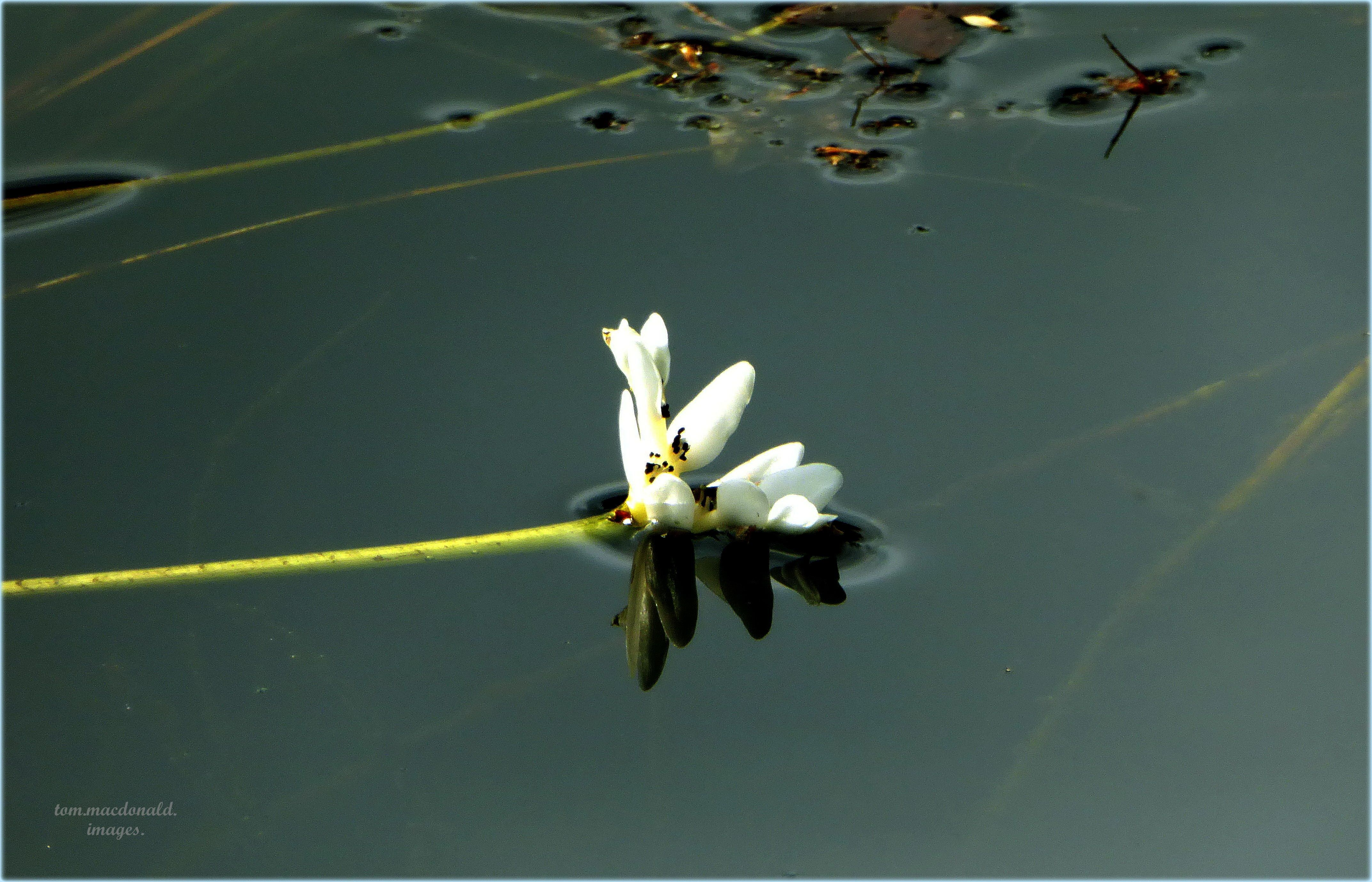 Aponogeton distachyos (Water Hawthorn).