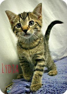 Domestic Shorthair Kitten For Adoption In Melbourne Kentucky Lydia Kitten Adoption Kittens Pets