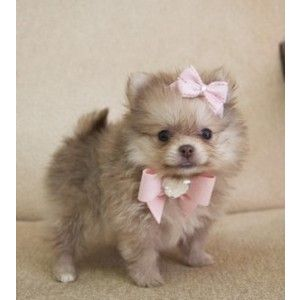 Teacup Puppies Cheap Teacup Pomeranian Puppies for sale