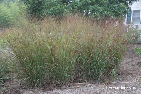 panicum virgatum shenandoah switch grass xeriscaping the. Black Bedroom Furniture Sets. Home Design Ideas