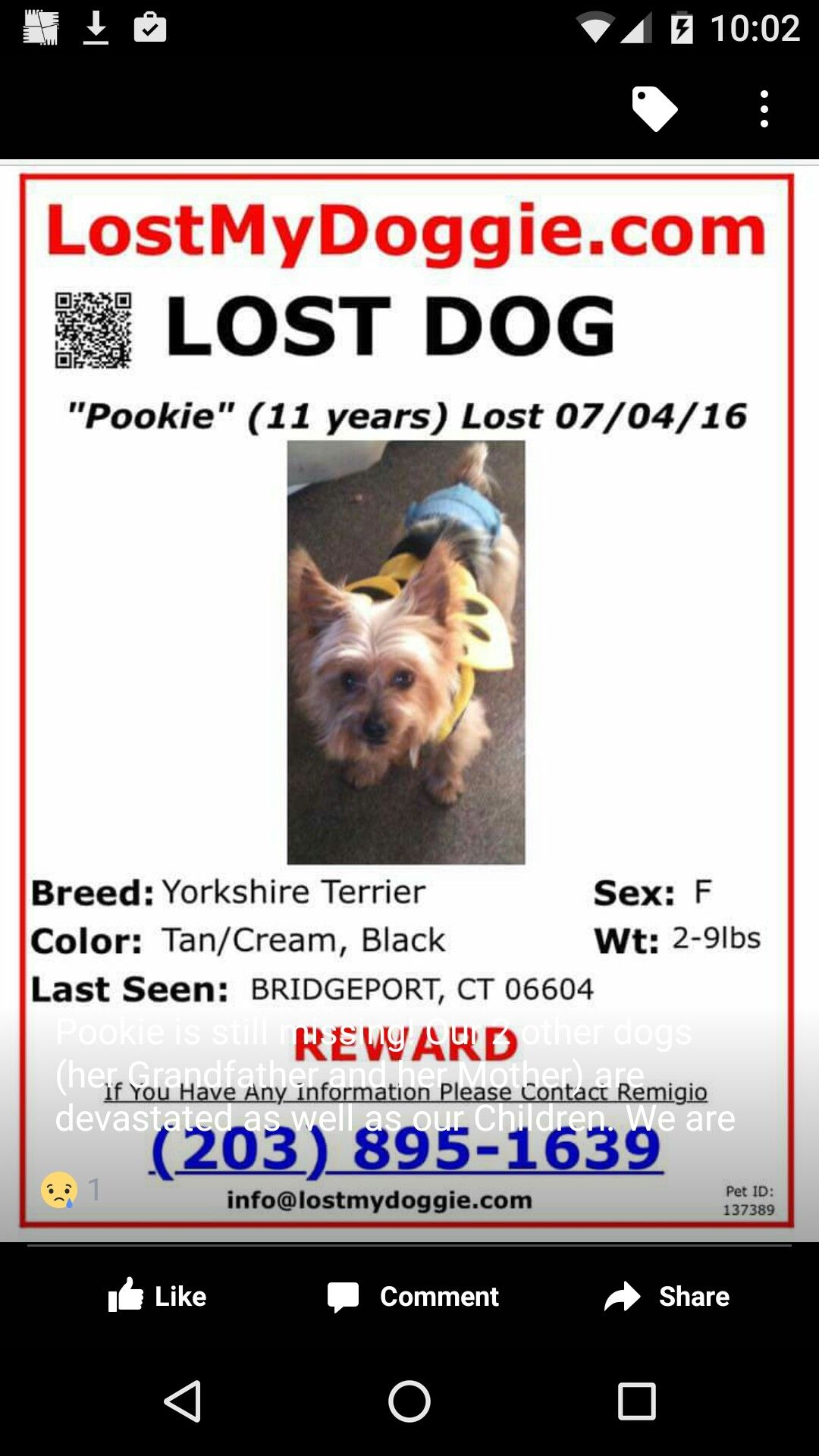 yorkie tan cream bridgeport Losing a dog, Pet id