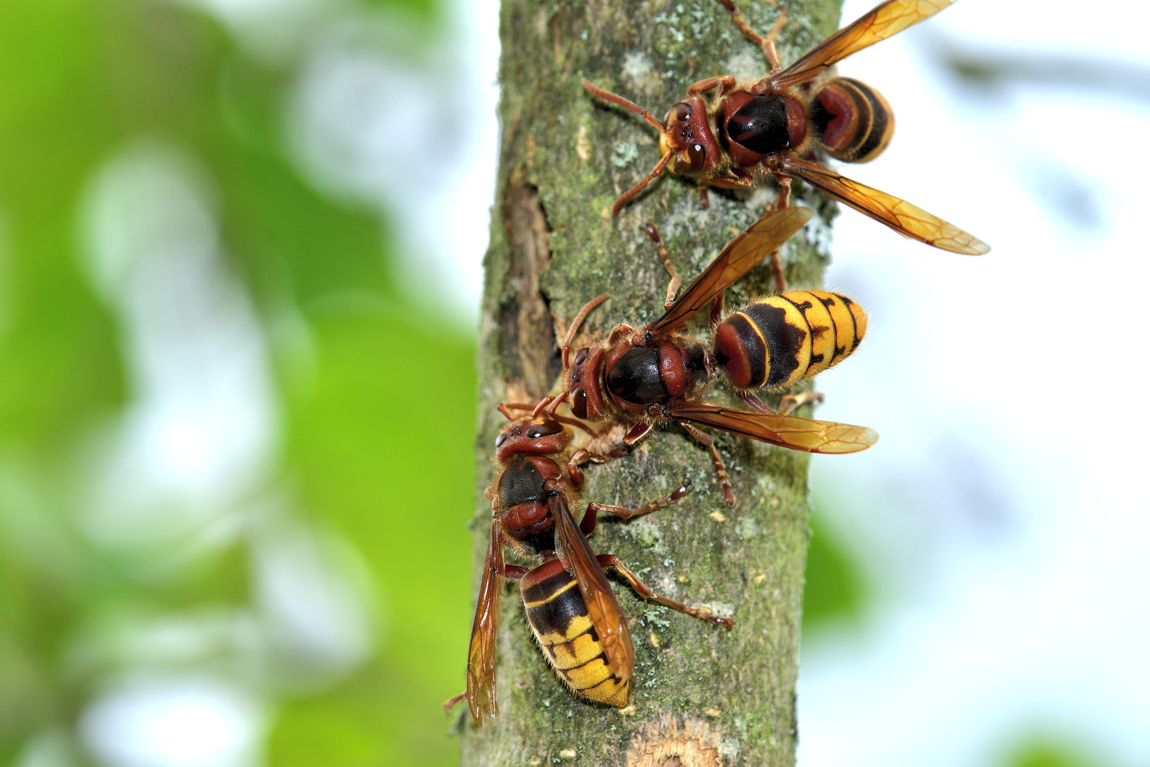 Yellow Jackets Are Unpredictable And Should Only Be Handled By Professionals Like Thebeeman We Are Happy To Help You El Bee Removal Wasp Removal Infestations