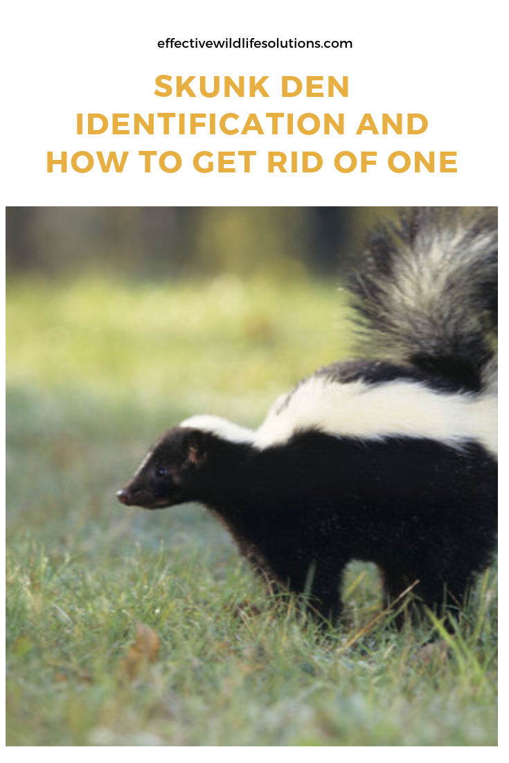Are You Trying To Get Rid Of A Skunk Den Near Your Home Well You Have Come To The Right Place Here You Getting Rid Of Skunks Wildlife Animals Save Wildlife