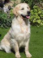 Pedigree Golden Retriever Puppies For Sale Champdogs Animals