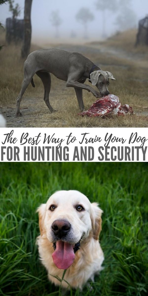 The Best Way To Train Your Dog For Hunting And Security Training