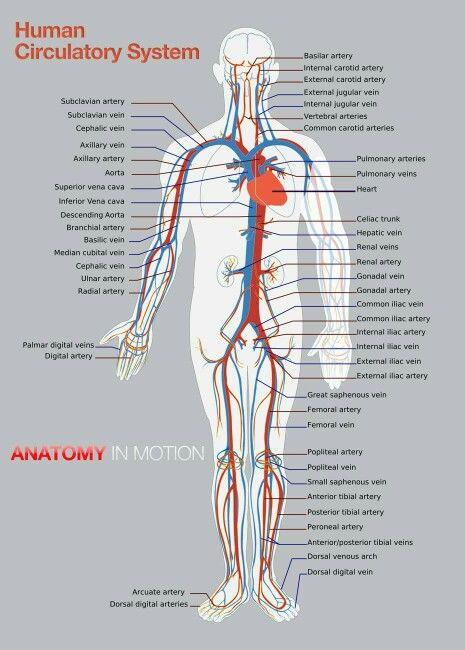 Human Circulatory System Massage Therapy Pinterest