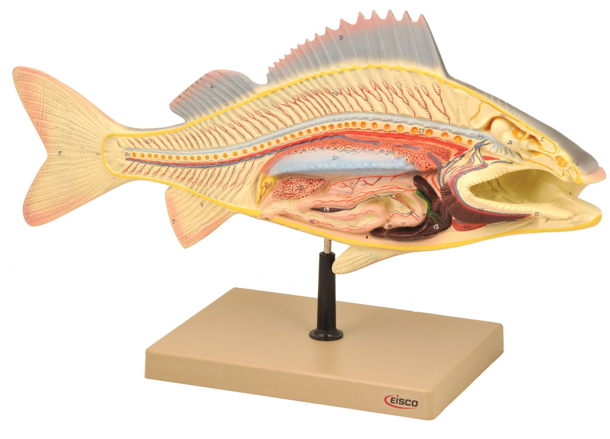 Eisco Labs Fish Dissection Model (Perch); fish 19.5 inches long ...