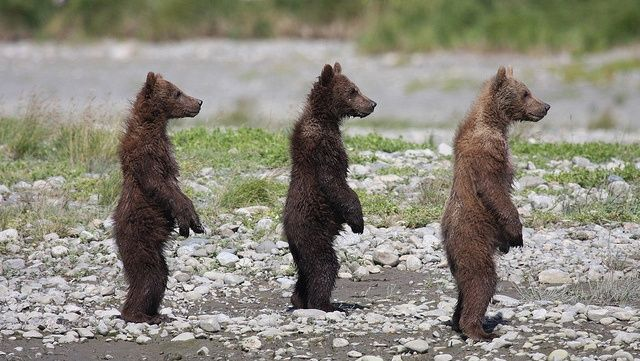3 little bears!
