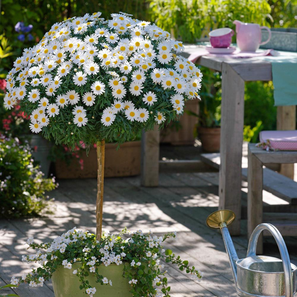 Marguerite daisy argyranthemum pruned to a standard for In a garden 26 trees are planted
