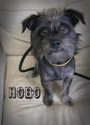 Adopt Hobo On Petfinder Boston Terrier Dog Terrier Mix Breeds Canine Care