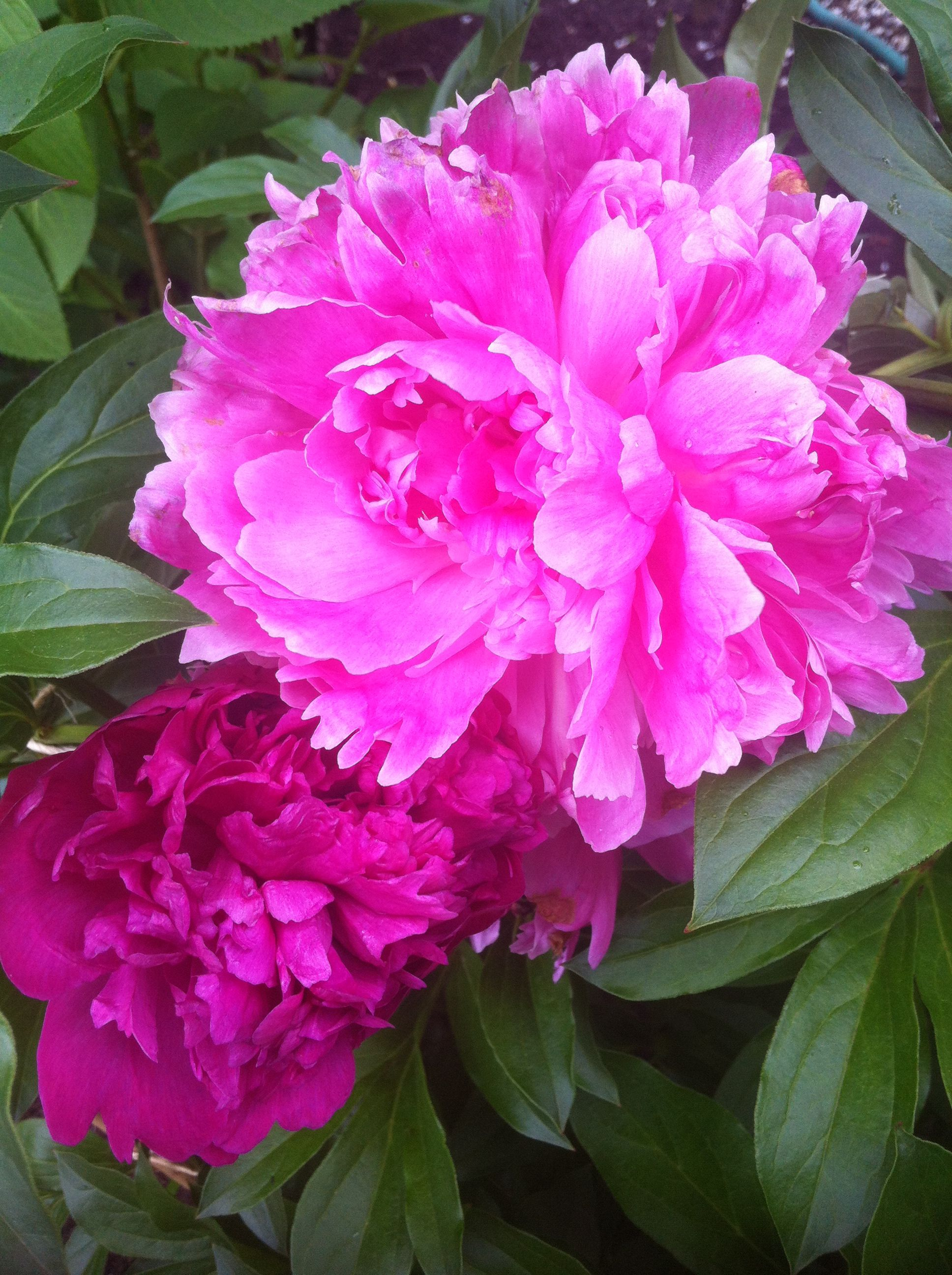 On peonies the most beautiful flowers love food sex erotic on peonies the most beautiful flowers love food sex erotic dhlflorist Images