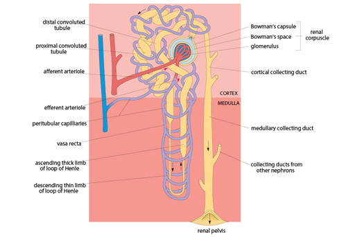 Week 3 Tissue Structure And Function 2 4 Excretion Functions Of The Kidney Openlear Open University Courses Free Online Learning How To Introduce Yourself