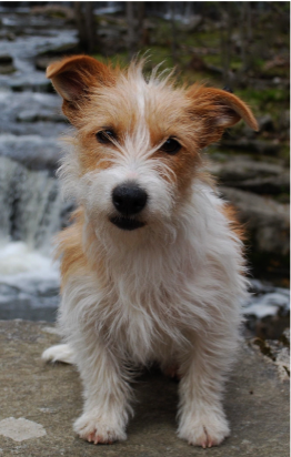 long haired jack russell terrier puppies for sale rough coat jack russel terrier dogs pinterest 5758