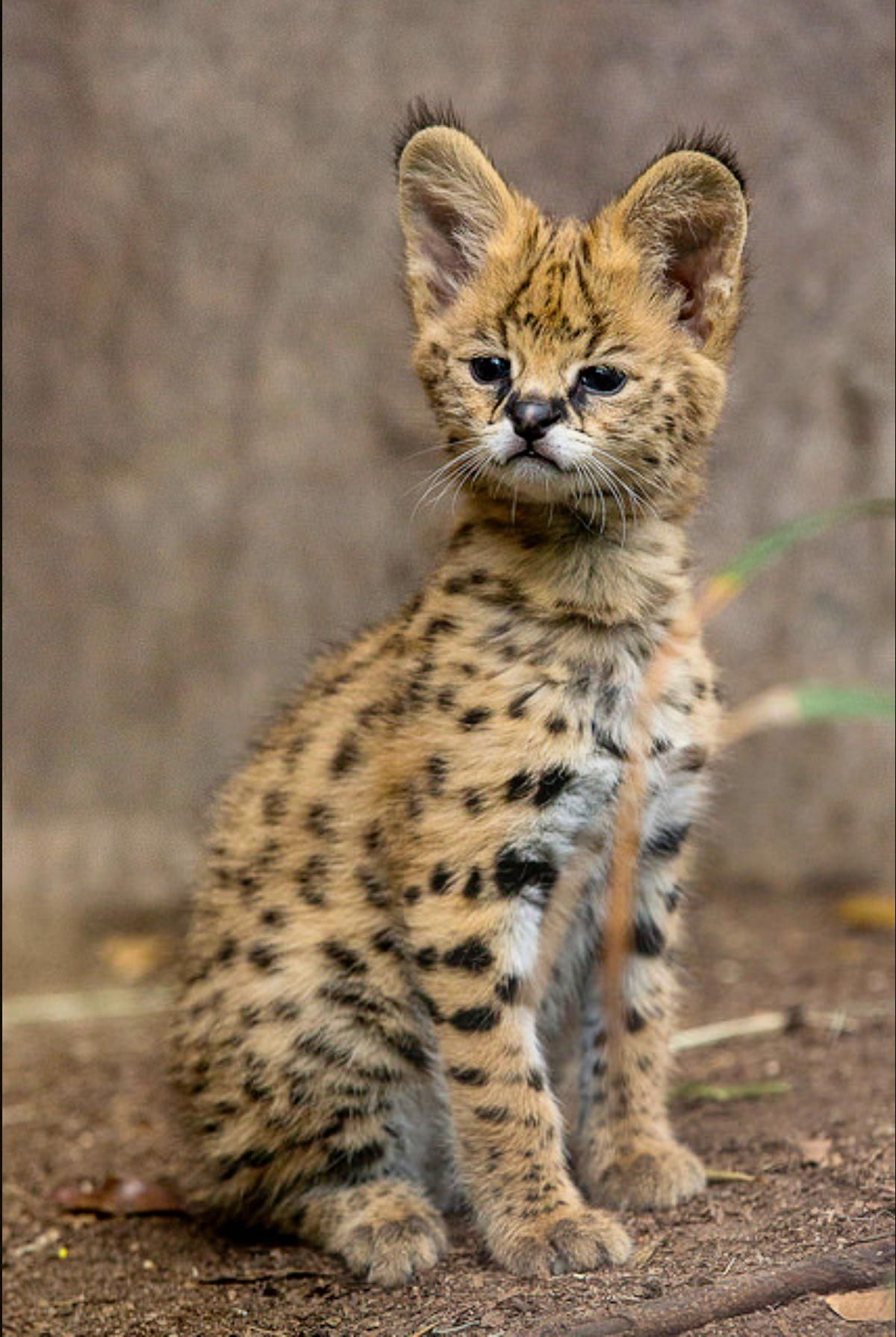 Pin On Serval Cats