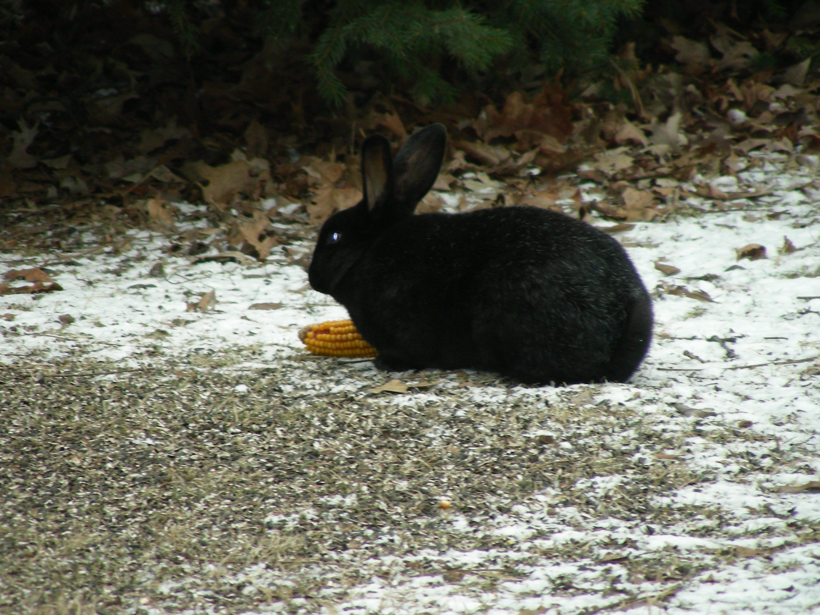 Black rabbit in my yard