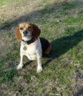 Beagle Dog For Adoption In Birmingham Al Adn 490160 On