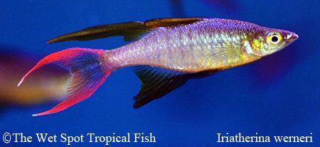 Rainbowfish Threadfin Rainbow Iriatherina Werneri Fresh Water Fish Tank Freshwater Fish Aquarium Fish