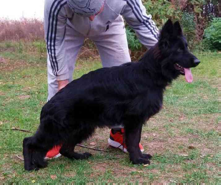 Akc Black German Shepherd Dog Female For Sale Long Hair Showline