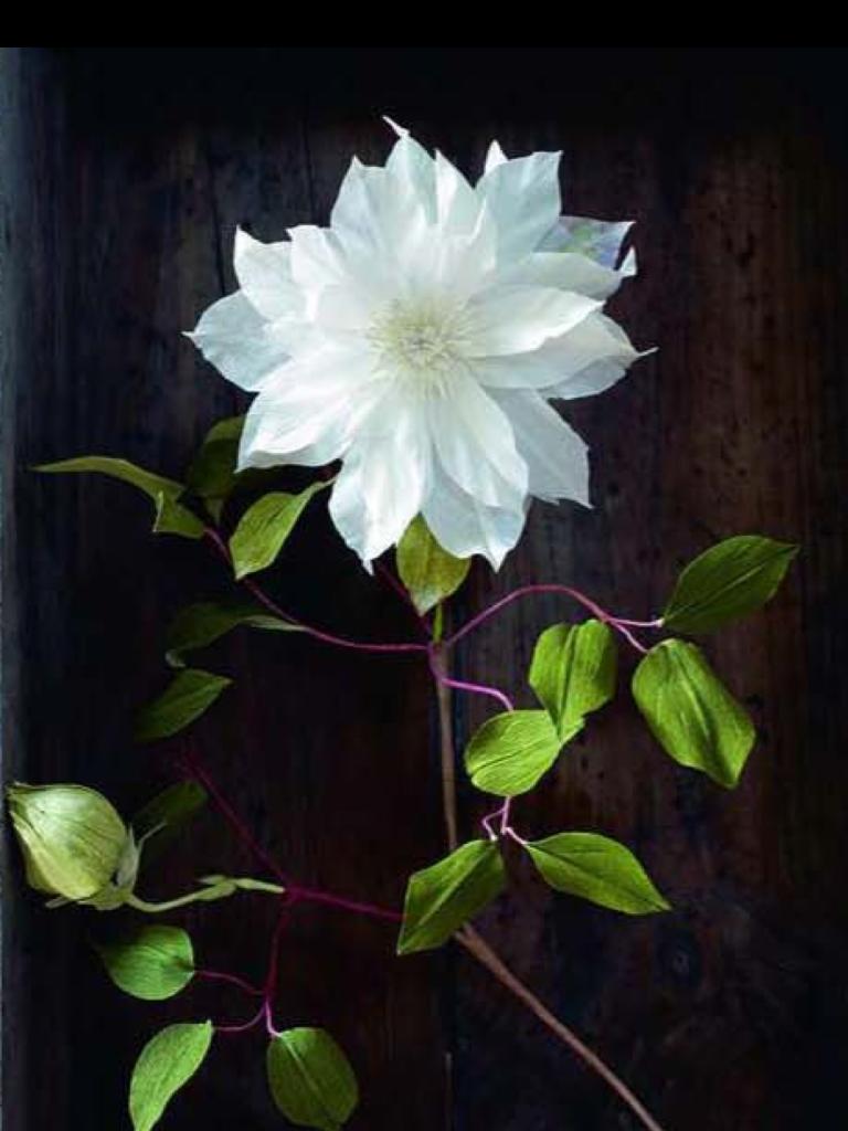 Crepe paper clematis botanical by berkeleyus anandamayi arnold