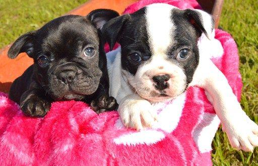 French Bulldog Puppy For Sale In Lufkin Tx Adn 30973 On Puppyfinder Com Gender Male Age 9 W Bulldog Puppies For Sale Puppies For Sale French Bulldog Puppy